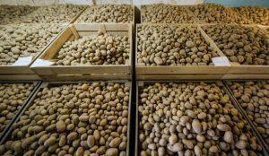 Cold Storage of Potato